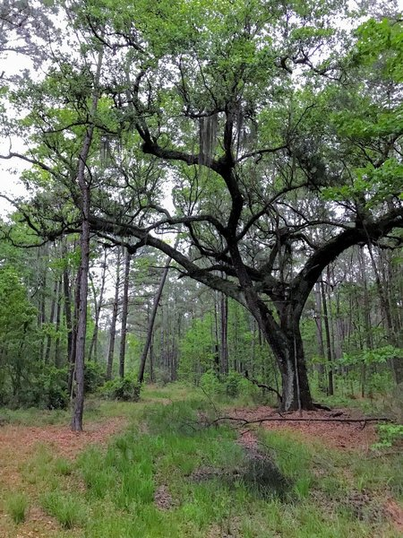 An old live oak on the trail