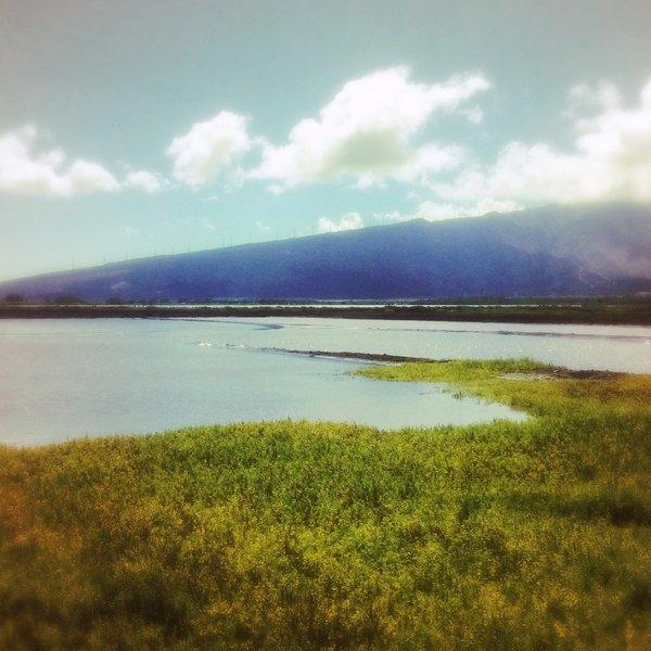 Kealia pond. Shorebirds nesting everywhere.