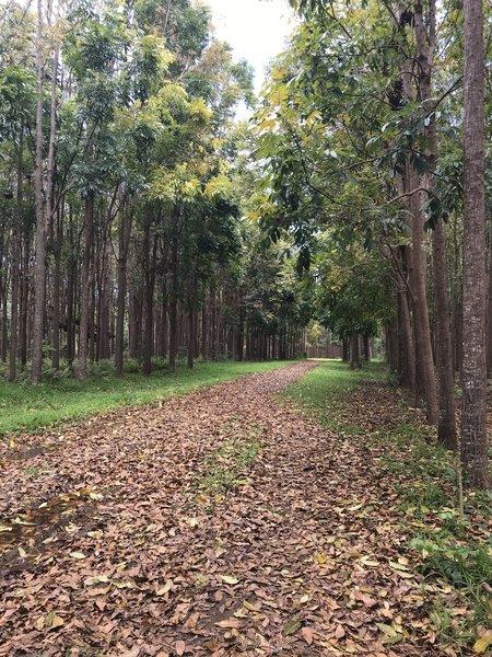 Walk through mahogany plantation