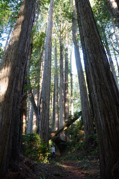 Awed by the redwoods