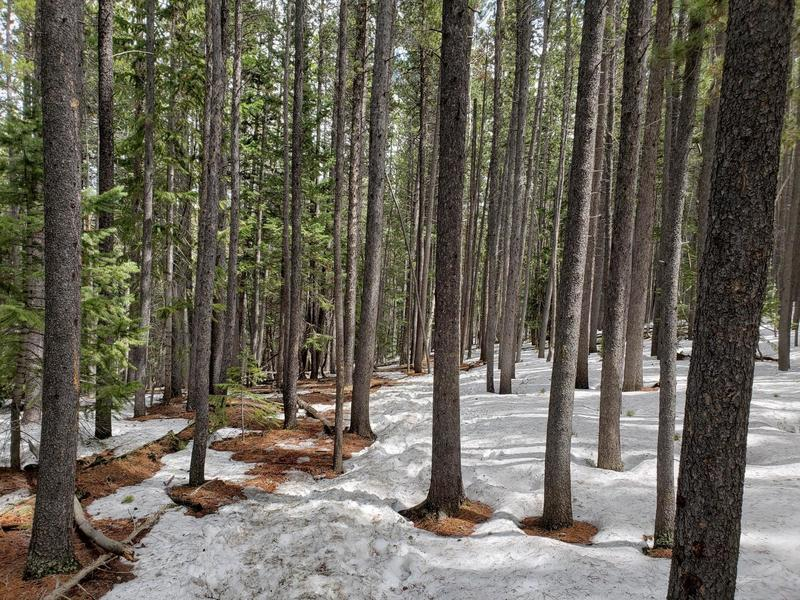 Wooded area near Windy Peak. Knee-deep snow and ice patches.