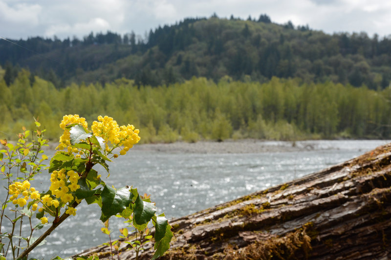 Flowers along the edge of Sandy River
