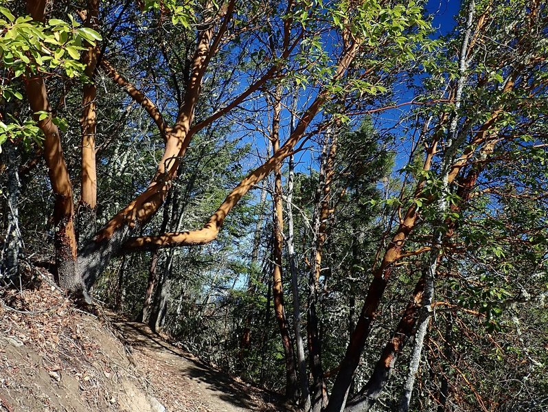 Big madrones along the Darkside Trail