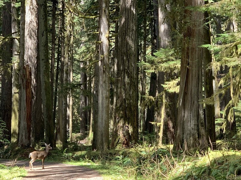 carbon trail - 2 miles in from trailhead - deer crossing
