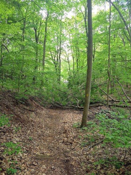tree down across trail, just inside the Pretzel Hut entrance