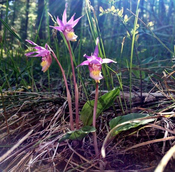 Calypso Orchid, Fairy Slipper