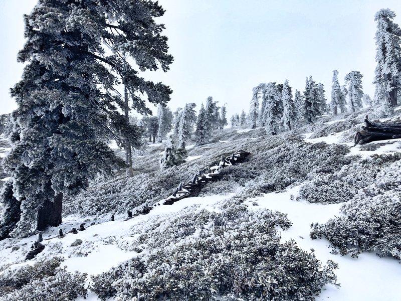 Frosty Trees!