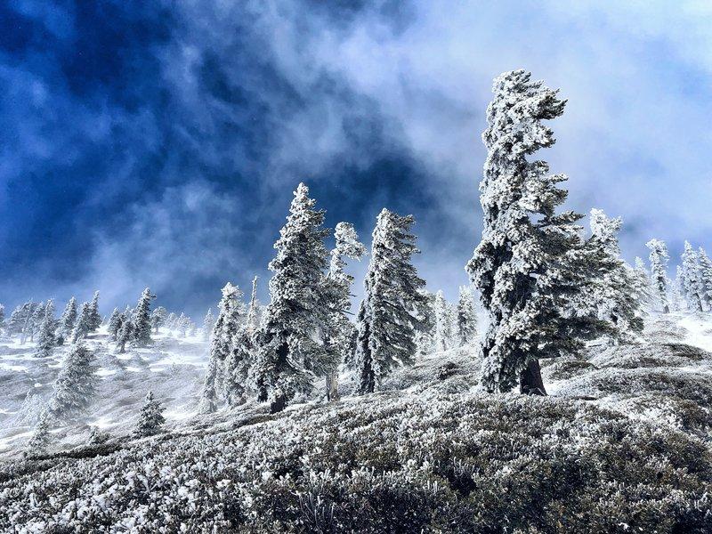 Windswept trees just below the summit...