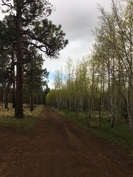 The upper portion of Wind Trail along an aspen elk exclosure.