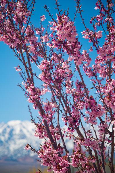 Cherry blossoms at Manzanar.