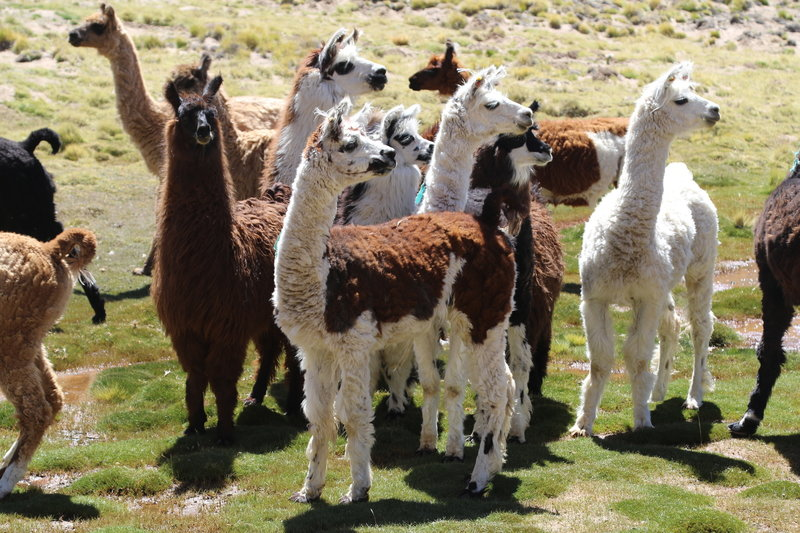 Llamas careful watching as the hikers and gauchos pass by.