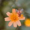 Just an everyday fly on a uniquely colored everyday flower.