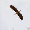 Nearly like clockwork, the herons are back in Marymoor.