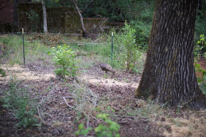 A turkey feeds along the trail in the evening.