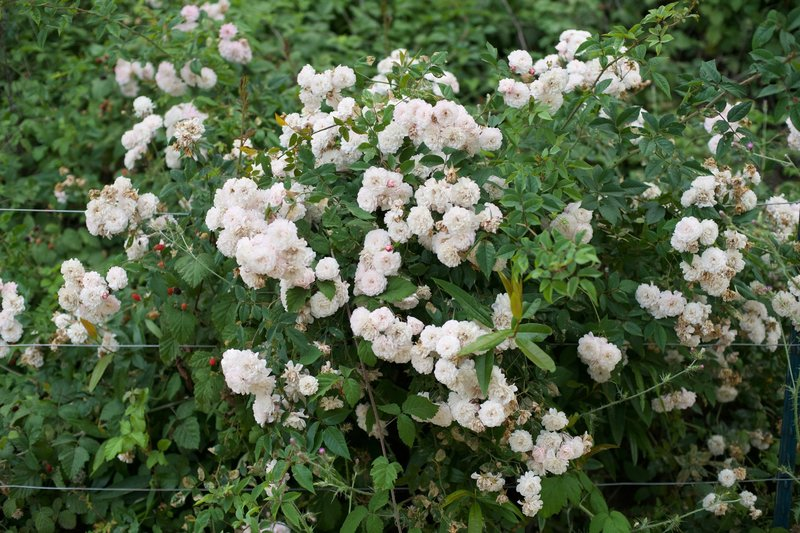 Roses and other flowers can be seen along the trail. You'll notice how blackberries, native to the area, grow among the flowers.