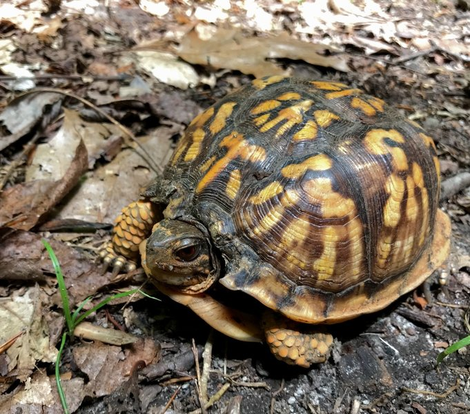 Eastern Box Turtle commands the trail.