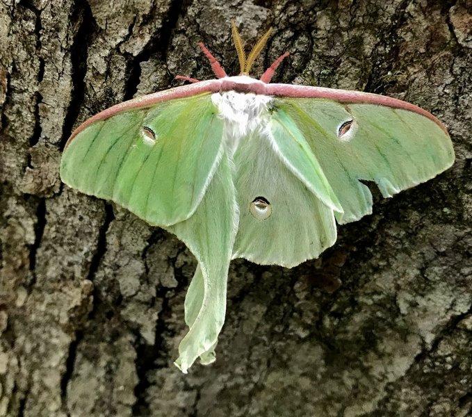Lovely luna moth.