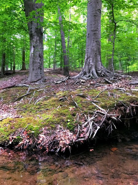 Beautiful beech trees float above the river.