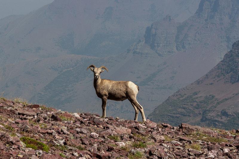 Bighorn sheep near Mount Rockwell.