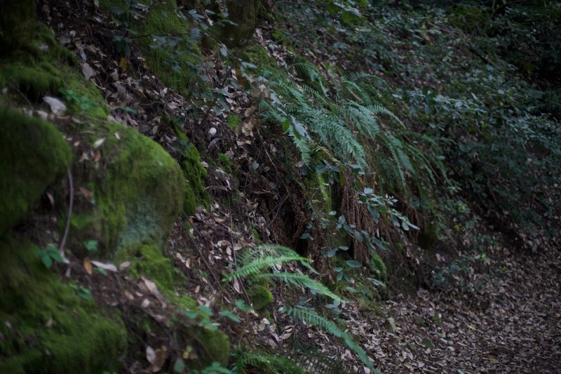 The moisture in the area, which is perfect for redwoods, allows ferns and mosses to flourish here as well.