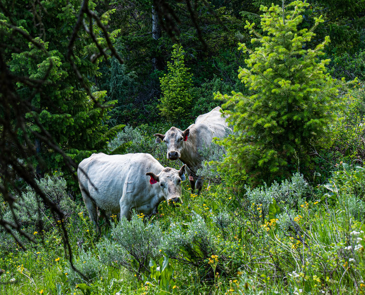 Cows in North Willow Canyon, just off the trail.