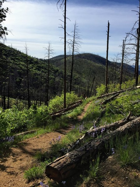 Most of the trail is singletrack, sometimes passing through burn areas that are re-growing with greenery and wildflowers if you time it right (taken in June 2019).