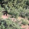 Bear on Carpenter's Peak Trail.