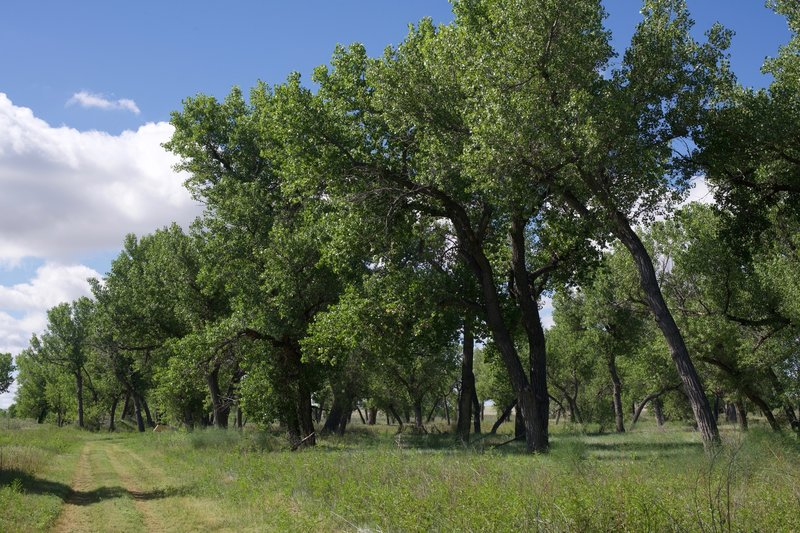 Sustained by the Arkansas River, this grove of cottonwood trees provides relief in the heat of the day and helped people survive on the Plains in the 1800s and 1900s.