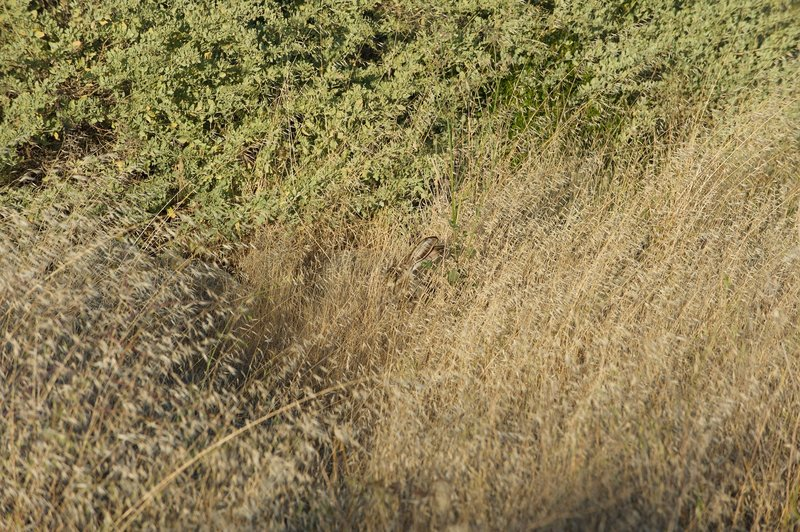 A jack rabbit hides in the tall grass along the trail. Be on the look out for ears, which stand above the grass.