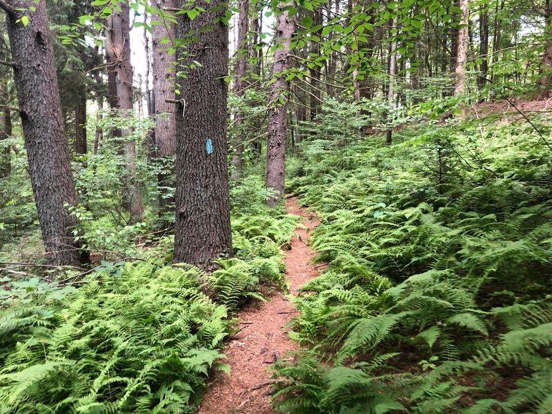 Along the Mattatuck Trail.