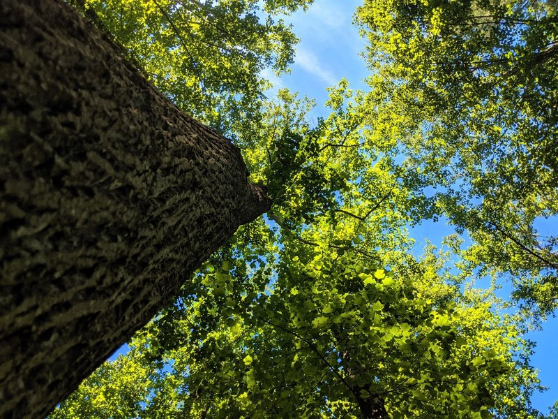 Prime example of the large poplar trees that stand along the Tall Poplar Trail.