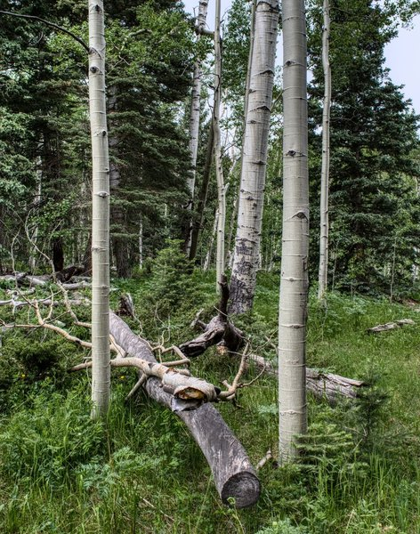 Aspen trees at the fork of the Marion Mine Trail and the St. Charles Trail.