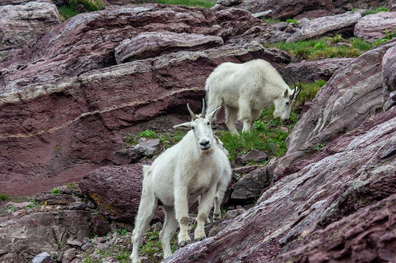 Mountain Goats near Gunsight Pass