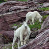 Mountain Goats near Gunsight Pass