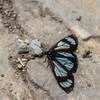 Police Car Moth on Gunsight Pass Trail