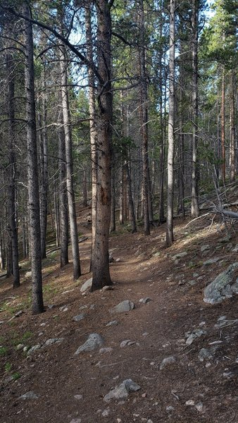Lower elevation pines