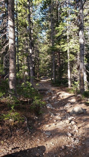 Pines on the trails