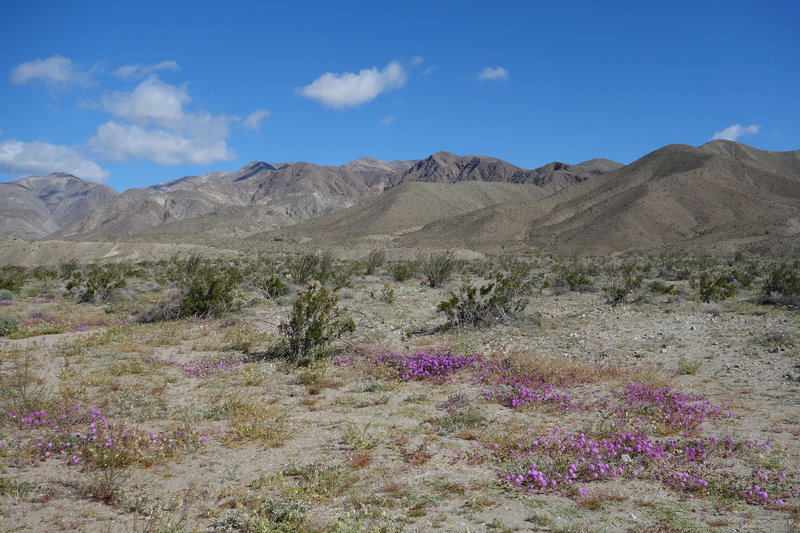 Super bloom of purple sand verbena at the intersectin of Palo Verde Wash and SR-22