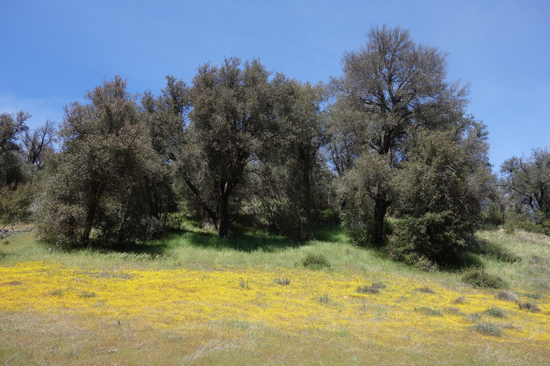 Burst of yellow in Cuyamaca Rancho SP after a wet winter.