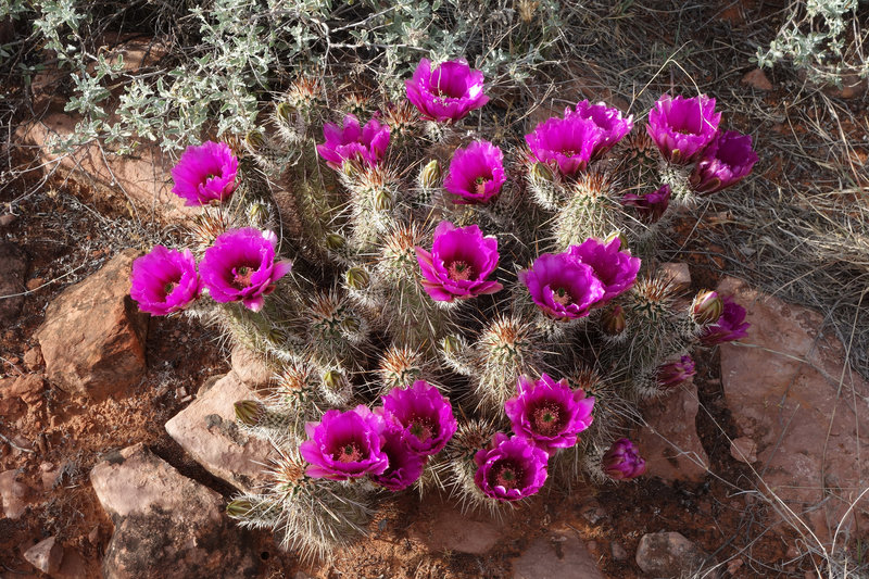 Cactus in bloom on the Courthouse Butte loop trail