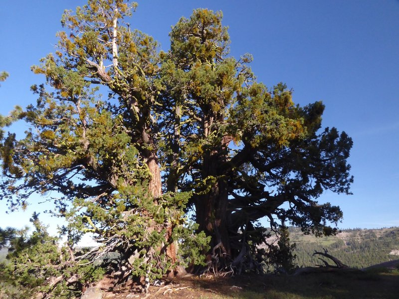 Giant Sequoia tree - an unexpected gem.