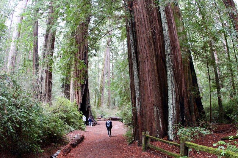 Redwood Loop Trail, Big Basin Redwoods