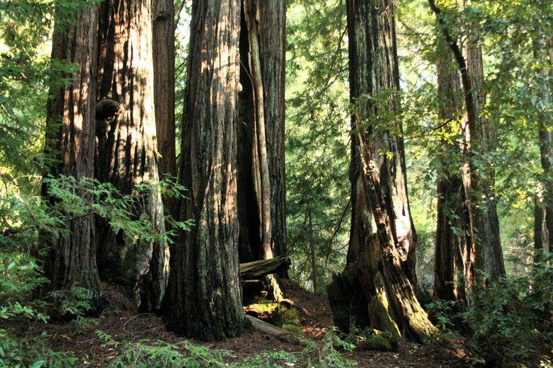 Redwood at eye level