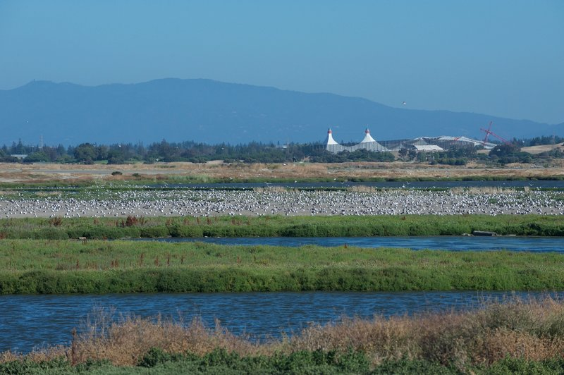 Hundreds of gulls nest and rest on a small island in Adobe Creek.