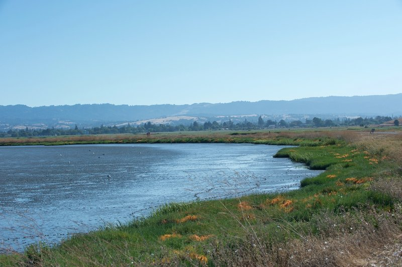 When the tide is out, birds of all types can be seen feeding in the mud. The trail follows Adobe Creek and the Charleston Slough. You can see Windy Hill off in the distance in the Santa Cruz Mountains.