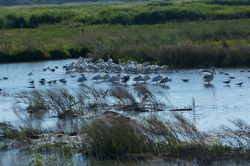 Pelicans, along with other species of birds, rest in Adobe Creek. While they are sleeping and resting here, you can see them flying around as they hunt throughout the day.
