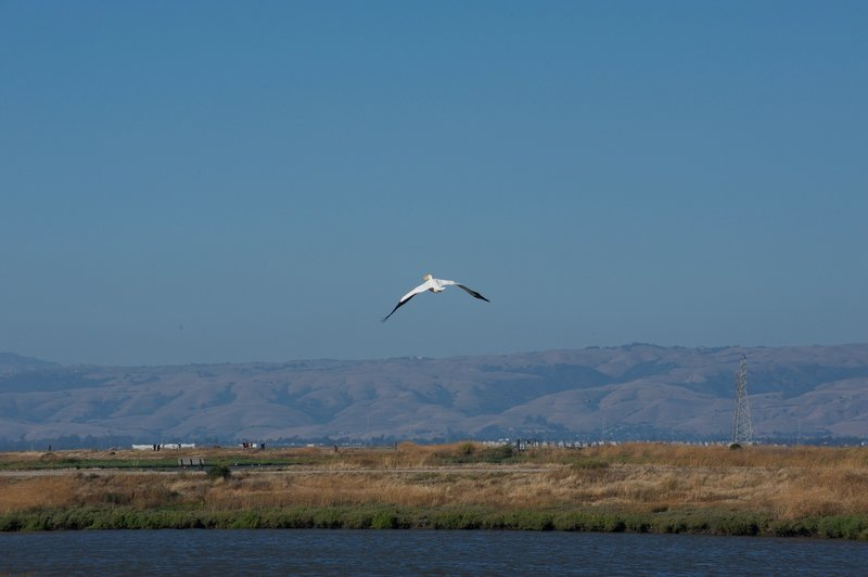 A pelican flies above Adobe Creek as it goes out to look for food.