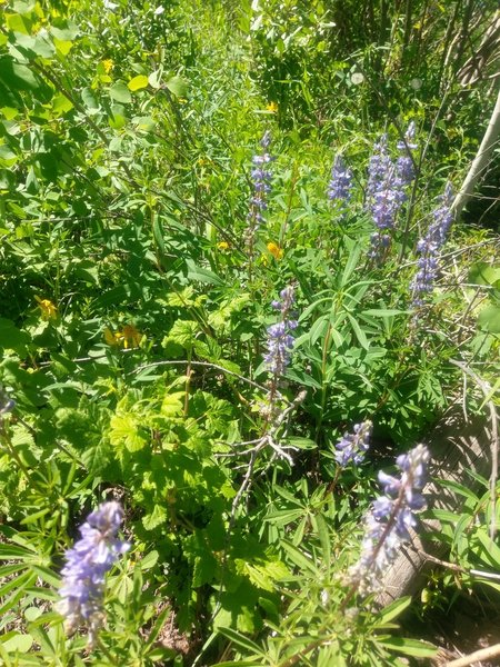 Lupine and other wildflowers line the lower reaches of the Cabin Trail.