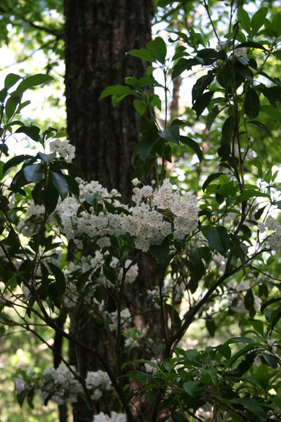 Mountain Laurel on BMT Section 4.