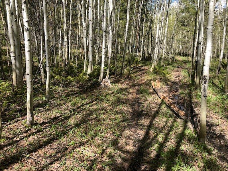 Winding through aspen groves